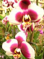 http://fleursdepeaux.cowblog.fr/images/orchidees023.jpg